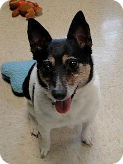Rat Terrier Dog for adoption in Grapevine, Texas - Nellie