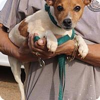 Adopt A Pet :: Jagger 3 year old Jack Russell - Rowayton, CT