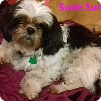 Adopt A Pet :: Suzie Sunflower-bonded Patches - Newport, KY