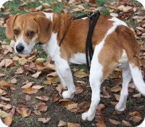 Beagle Dog for adoption in Portland, Oregon - Dakota-2