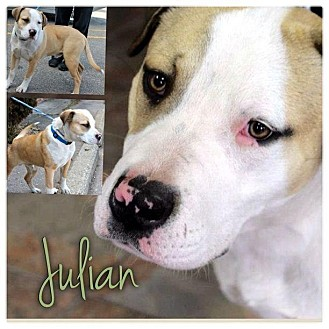 English Bulldog/Collie Mix Puppy for adoption in Garden City, Michigan - Julian