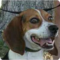 Adopt A Pet :: Macy Grace - Phoenix, AZ