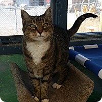 Domestic Shorthair Cat for adoption in Cody, Wyoming - Ellen