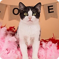 Adopt A Pet :: Moozy - Sterling Heights, MI