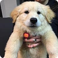 Adopt A Pet :: Baloo - San Francisco, CA