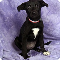 Adopt A Pet :: Kat BeagleMinPin - St. Louis, MO