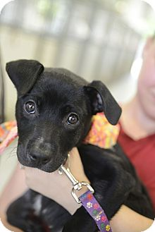 Pit Bull Terrier/Labrador Retriever Mix Dog for adoption in Muldrow, Oklahoma - Keeli