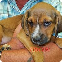 Adopt A Pet :: ZIRCON - Ventnor City, NJ