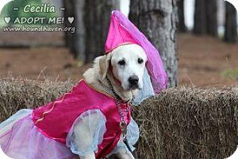 Labrador Retriever/Labrador Retriever Mix Dog for adoption in Minneola, Florida - Cecelia