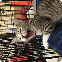 Domestic Shorthair Kitten for adoption in Spring, Texas - Willa