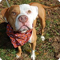 American Staffordshire Terrier/American Bulldog Mix Dog for adoption in Wilmington, Delaware - Sadie
