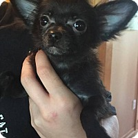 Chihuahua/Yorkie, Yorkshire Terrier Mix Puppy for adoption in St. Louis Park, Minnesota - Luna