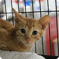 Domestic Shorthair Kitten for adoption in Sarasota, Florida - Norval