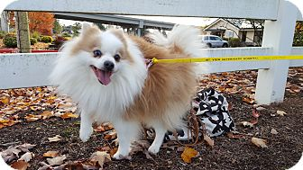 Pomeranian Dog for adoption in Vancouver, Washington - Pongo