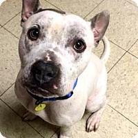 Terrier (Unknown Type, Medium)/American Pit Bull Terrier Mix Dog for adoption in Fulton, Missouri - Beckett- Ohio