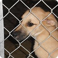 Shepherd (Unknown Type)/Labrador Retriever Mix Dog for adoption in Falls Mills, Virginia - Romeo