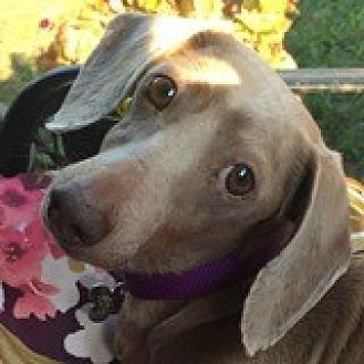 Dachshund Dog for adoption in Houston, Texas - Cami Cameo
