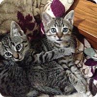American Shorthair Kitten for adoption in San Jose, California - Sadie