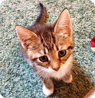 Domestic Shorthair Kitten for adoption in Green Bay, Wisconsin - Caroline