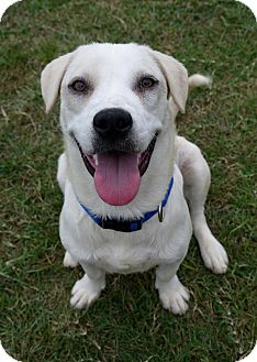 Labrador Retriever Mix Dog for adoption in Baton Rouge, Louisiana - Stitch