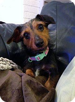 Dachshund Dog for adoption in Baton Rouge, Louisiana - Lizzie