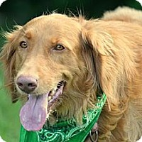 Adopt A Pet :: Dolli - New Canaan, CT