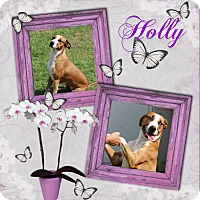 Adopt A Pet :: Holly - Tampa, FL