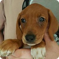 Adopt A Pet :: TANGIE PUPPIES - Pompton lakes, NJ