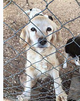 Cocker Spaniel Mix Dog for adoption in Marion, North Carolina - Buffy