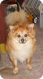Chihuahua/Pomeranian Mix Dog for adoption in Coal City, West Virginia - Kodiak