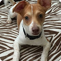 Chihuahua Mix Puppy for adoption in ST LOUIS, Missouri - Bourbon