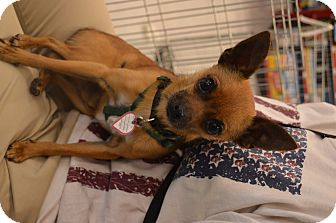 Chihuahua Mix Dog for adoption in Lodi, California - Chico 2