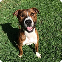 Adopt A Pet :: Boz - oklahoma city, OK