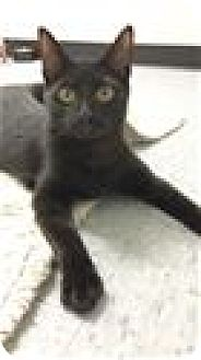 Domestic Shorthair Kitten for adoption in Raleigh, North Carolina - Rex