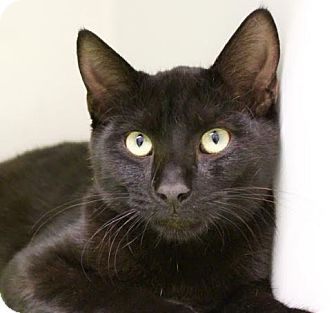 Domestic Shorthair Cat for adoption in Red Bluff, California - Bill