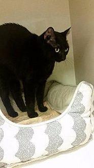 Domestic Shorthair Cat for adoption in Westbury, New York - Mocha