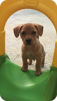 Jack Russell Terrier/Hound (Unknown Type) Mix Puppy for adoption in Atlanta, Georgia - Timmy