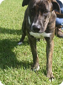 Shepherd (Unknown Type) Mix Dog for adoption in Friendswood, Texas - Roscoe