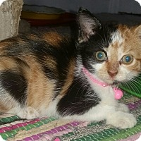 Domestic Shorthair Kitten for adoption in Winterville, North Carolina - PAISLEY