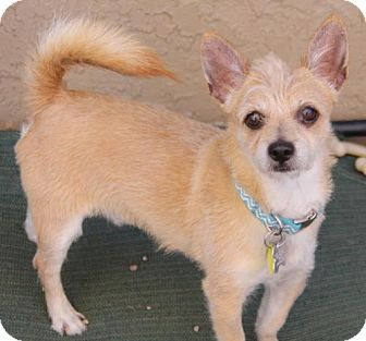 Cairn Terrier Mix Dog for adoption in Phoenix, Arizona - Dougie
