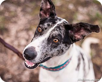 Collie Mix Dog for adoption in Richmond, Virginia - Gracie