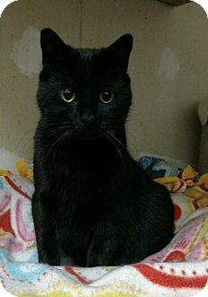 Domestic Shorthair Cat for adoption in Saginaw, Michigan - Ivy 2 (L69)