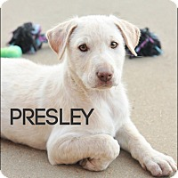 Adopt A Pet :: Presley - Colmar, PA