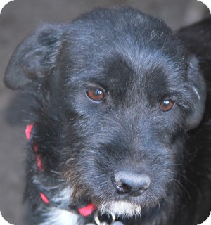 Labrador Retriever/Schnauzer (Standard) Mix Puppy for adoption in Norwalk, Connecticut - Molly - adoption pending