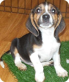 Beagle Puppy for adoption in MINNEAPOLIS, Kansas - Basil