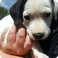 Adopt A Pet :: Addie- The Baby - Shavertown, PA