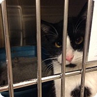 Domestic Shorthair Cat for adoption in Muncie, Indiana - Spot