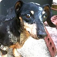 Adopt A Pet :: Myra Meringue - Houston, TX