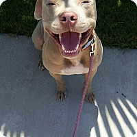 Pit Bull Terrier Mix Dog for adoption in Austin, Texas - Brutus