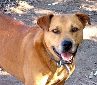 Staffordshire Bull Terrier Mix Dog for adoption in Vista, California - Roc